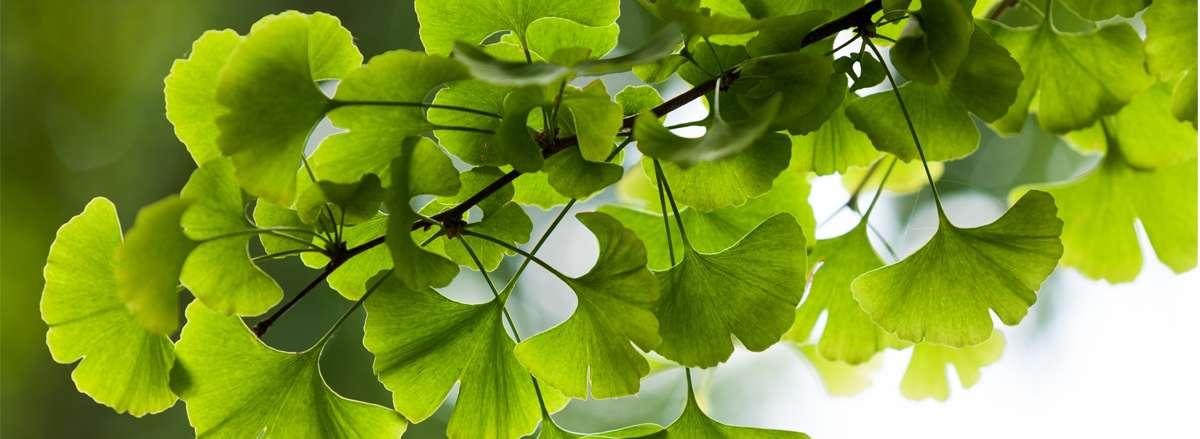 Ginkgo biloba - một thảo dược quý được phát hiện từ xa xưa trên trái đất và hiện nay được trồng nhiều nơi trên thế giới. Chúng ta cùng tìm hiểu về những công...
